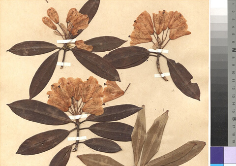 Pictures of the Herbarium Hamburgense